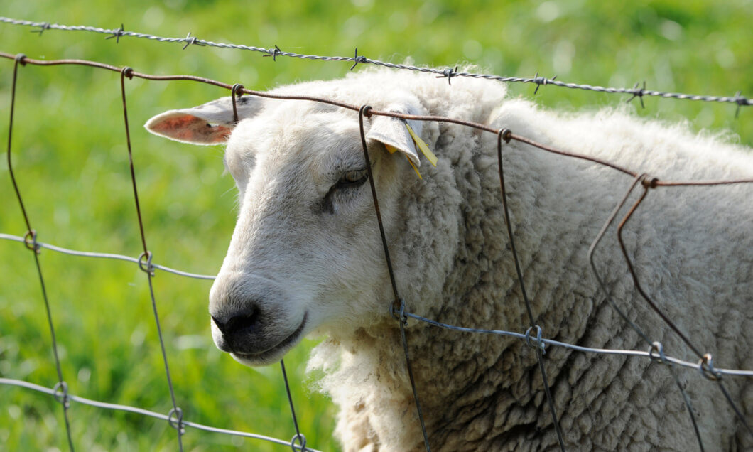 Wire fence keeping sheep safe